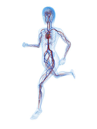 heart anatomy: running female skeleton with vascular system