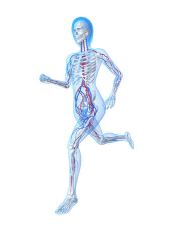 healtcare: running female skeleton with vascular system