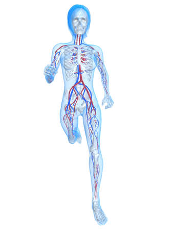 circulating: running female skeleton with vascular system
