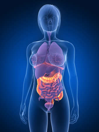 anatomy bowel: transparent female body with highlighted colon