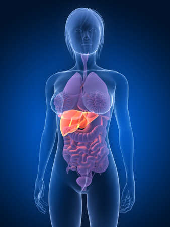transparent female body with highlighted liver photo