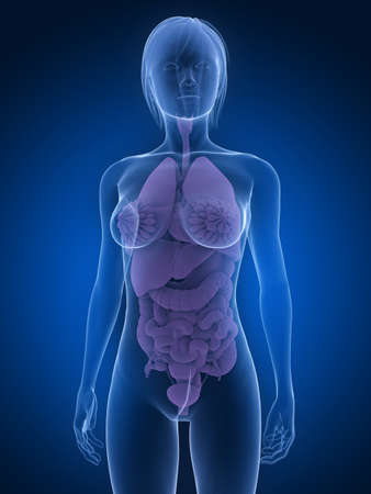 transparent female anatomy with organs Stock Photo - 7285845