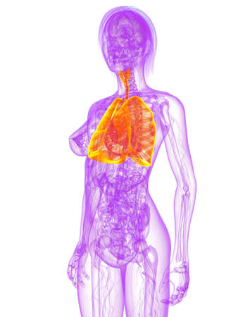 transparent female body with highlighted lung Stock Photo - 7249240