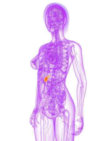 transparent female body with highlighted gallbladder Stock Photo - 7249246