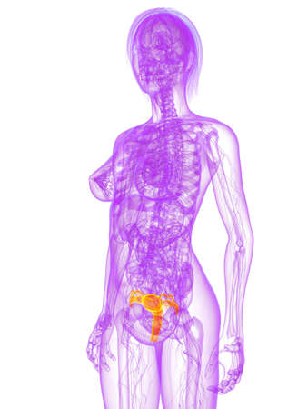 transparent female body with highlighted uterus photo