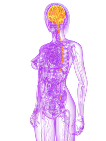 transparent female body with highlighted brain Stock Photo - 7249249