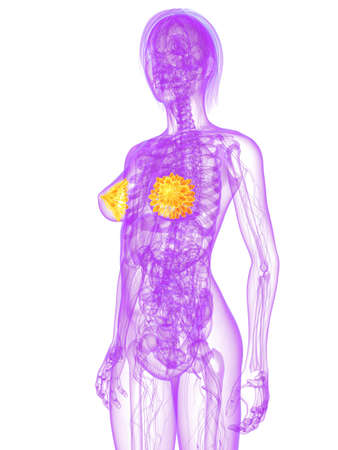 mammary: transparent female body with highlighted mammary glands Stock Photo
