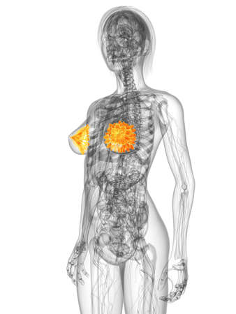 transparent female body with highlighted mammary glands photo