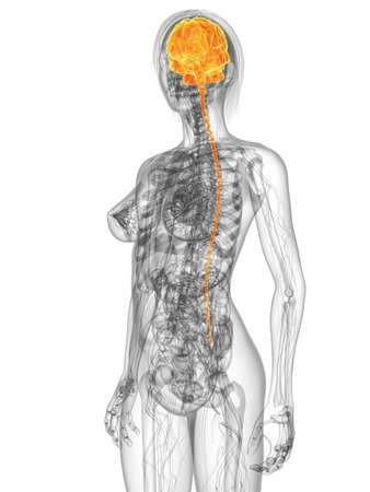 transparent female body with highlighted brain Stock Photo - 7249252