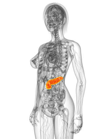 transparent female body with highlighted pancrea photo