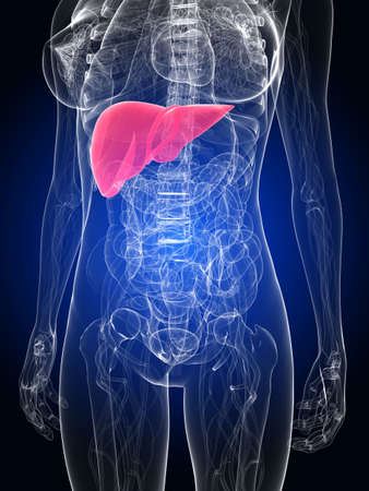 hepatitis: female anatomy with highlighted liver Stock Photo