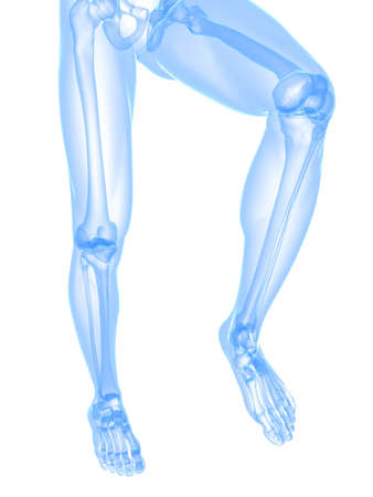 anatomy leg: transparent legs with healthy joints