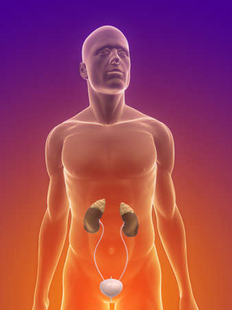 uretra: cuerpo masculino con sistema urinario