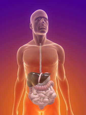 male body with digestive system Stock Photo - 7165024