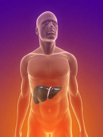 male body with liver Stock Photo - 7160037