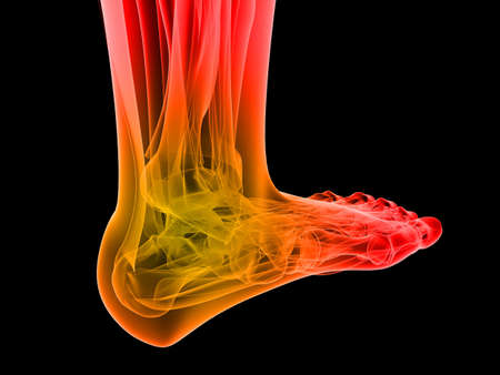 bones of the foot: human foot with highlighted ankle