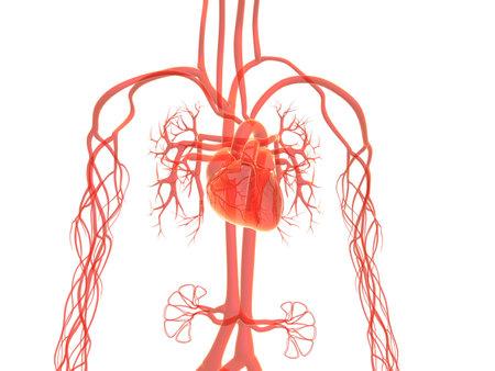 circolazione: sistema vascolare umano