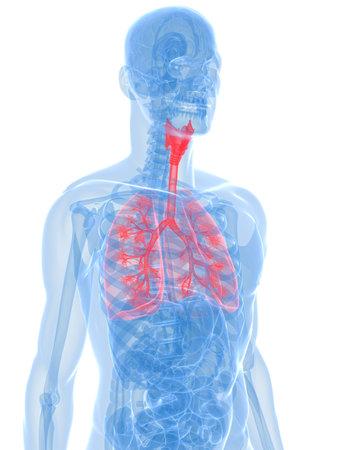 bronchi: Anatom�a transparente con pulm�n resaltado y bronquios