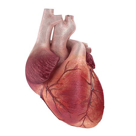corazon humano: Ilustración médica procesada 3D de un corazón humano Foto de archivo