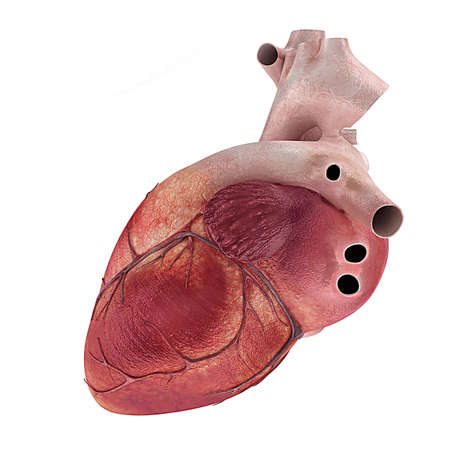 dessin coeur: 3d a rendu l'illustration médicale d'un coeur humain