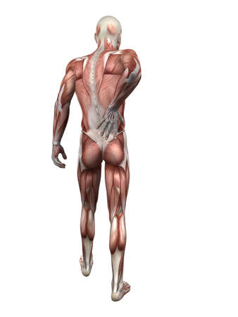 skeletal muscle: backache illustration  Stock Photo