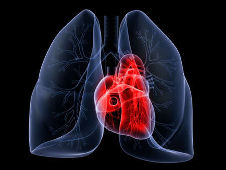 pulmón y corazón