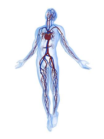 transparent male anatomy: rising body - x-ray