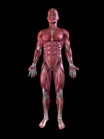 muscular male: male muscular system