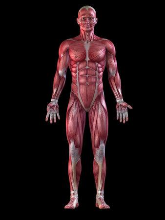 ścięgno: męski układ mięśniowy