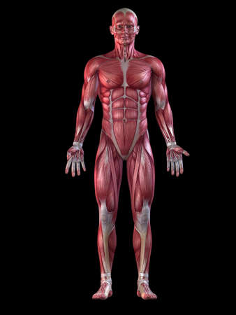 muscle anatomy: male muscular system