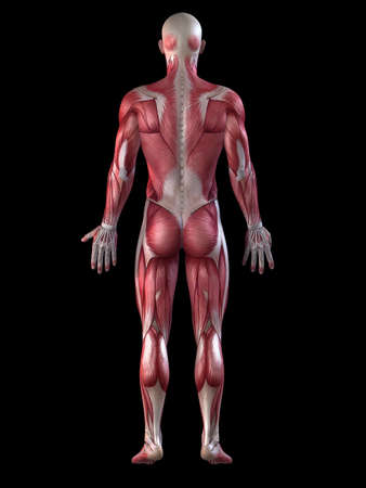 male muscular system  Stock Photo - 11073196