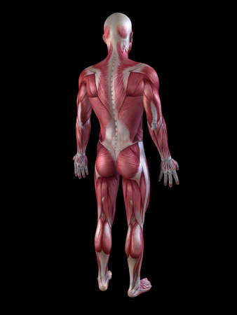sapiens: male muscular system