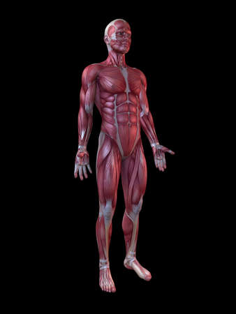 muscular system: male muscular system