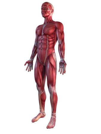 3d nude: male muscular system