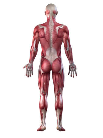 anatomy muscles: male muscular system
