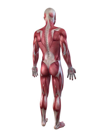 male muscular system  Stock Photo - 11073190