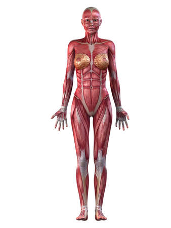 female muscular system Stock Photo - 11073210