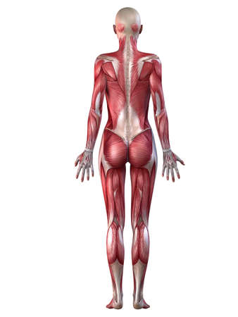 female muscular system  photo