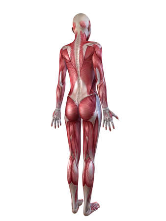 female muscular system  Stock Photo - 11073200