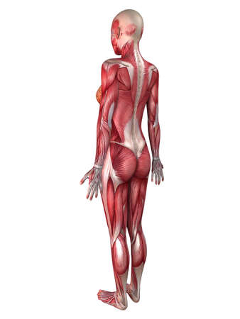 muscular system: female muscular system
