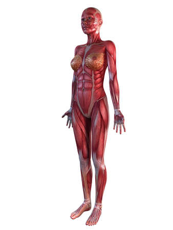 anatomy nude: female muscular system