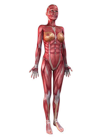 female muscular system  Stock Photo - 11073194