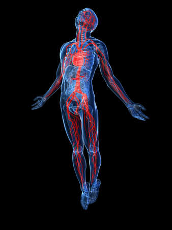 transparent male anatomy: highlighted vascular system
