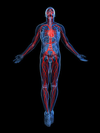 skeletal system: highlighted vascular system