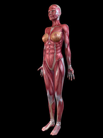 female muscular system Stock Photo - 11073186