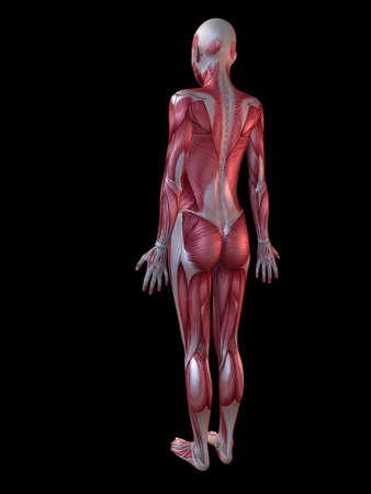 female muscular system Stock Photo - 11073169