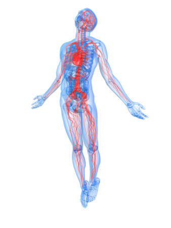 Transparent Human Body With Highlighted Vascular System Stock Photo