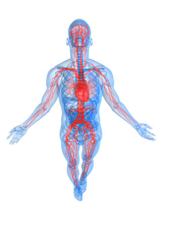 transparent system: highlighted vascular system