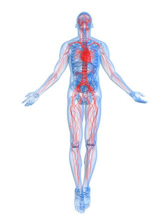 circulatory: highlighted vascular system