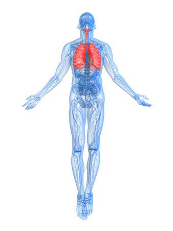aparato respiratorio: destac� pulm�n
